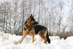 在雪的德国牧羊犬狗 图库摄影