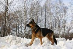 在雪的德国牧羊犬狗 免版税图库摄影