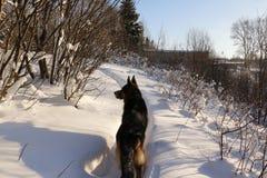 在雪的德国牧羊犬狗 免版税库存照片