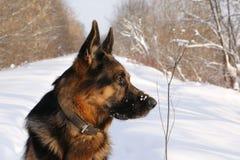 在雪的德国牧羊犬狗 免版税库存图片