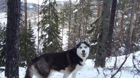 在雪的愉快的多壳的狗 库存图片