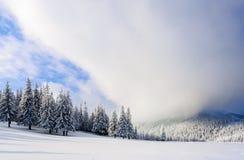 在雪的意想不到的蓬松圣诞树 与高大的树木、蓝天和随风飘飞的雪的明信片 冬天风景在晴天 免版税图库摄影