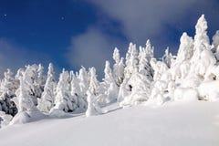在雪的意想不到的蓬松圣诞树 与高大的树木、蓝天和随风飘飞的雪的明信片 冬天风景在晴天 免版税库存图片