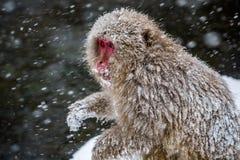 在雪的成人日本短尾猿 库存图片