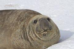 在雪的成年男性南部的海象画象  免版税库存照片