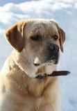 在雪的拉布拉多猎犬在冬天 免版税库存图片