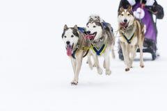 在雪的拉雪橇狗赛跑在冬天 免版税库存图片