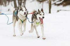 在雪的拉雪橇狗赛跑在冬天 免版税库存照片