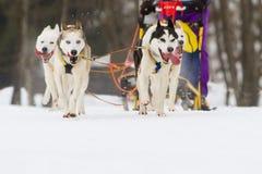 在雪的拉雪橇狗赛跑在冬天 库存图片