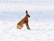 在雪的挺直野兔 库存图片