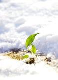 在雪的新芽 库存照片