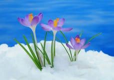 在雪的番红花 库存照片