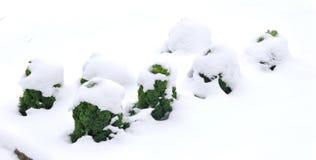 在雪的无头甘蓝 免版税库存图片