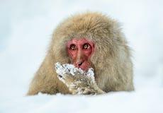 在雪的日本短尾猿 时数横向季节冬天 日本短尾猿科学名字:猕猴属fuscata,亦称雪 免版税库存照片