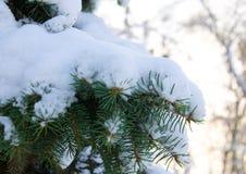 在雪的杉木分行 免版税库存照片