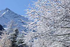 在雪的杉木根 免版税库存图片