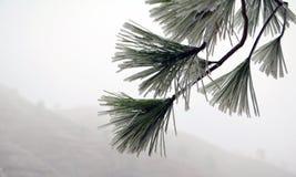 在雪的杉木针 免版税库存图片