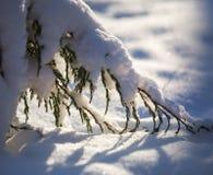 在雪的杜松分支 图库摄影
