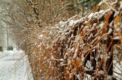 在雪的树篱 免版税库存照片