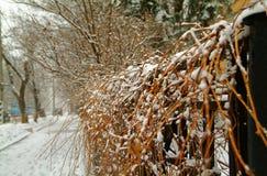 在雪的树篱 库存照片