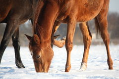 在雪的栗子年轻马驹 免版税库存照片