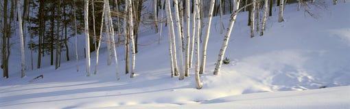 在雪的桦树,在伍德斯托克南部,佛蒙特 免版税库存照片