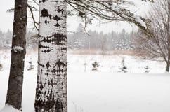 在雪的桦树 免版税库存图片