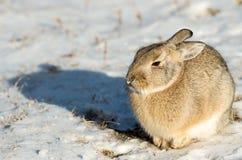 在雪的棉尾巴兔子 库存图片