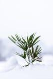 在雪的棕榈 库存照片