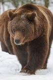 在雪的棕熊 免版税库存图片