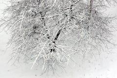 在雪的樱桃树 免版税图库摄影