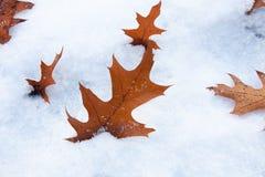 在雪的橡木叶子 图库摄影