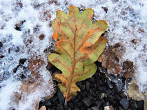 在雪的橡木叶子 库存照片