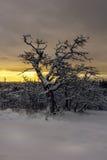 在雪的橡木 图库摄影