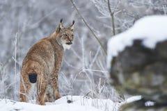 在雪的欧亚天猫座 免版税库存图片