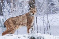 在雪的欧亚天猫座 图库摄影