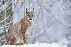 在雪的欧亚天猫座 免版税图库摄影