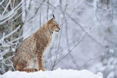 在雪的欧亚天猫座 免版税库存照片