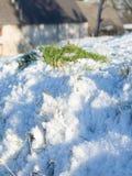 在雪的欧蓍草 库存图片