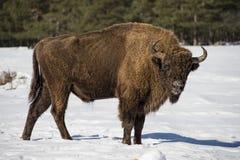 在雪的欧洲北美野牛 库存照片