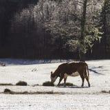 在雪的母牛 免版税库存图片