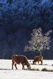 在雪的母牛 库存图片