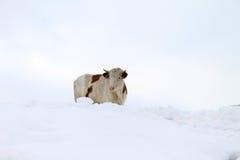 在雪的母牛 图库摄影