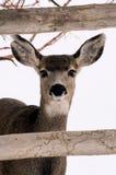 在雪的母鹿 库存图片