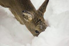 在雪的母鹿 免版税库存照片