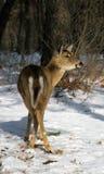 在雪的母鹿 免版税图库摄影