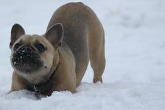 在雪的法国牛头犬 库存照片