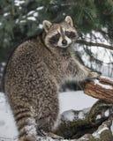 在雪的浣熊 免版税库存图片