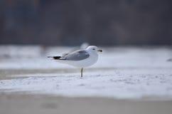 在雪的海鸥 库存图片