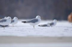 在雪的海鸥 库存照片